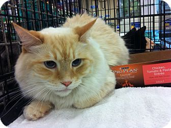 Pittstown Nj Ragdoll Meet Bob Barker A Cat For Adoption
