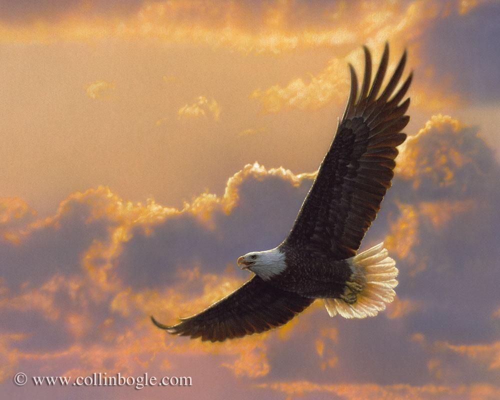 Soaring Spirit Bald Eagle Eagle Pictures Eagle In Flight