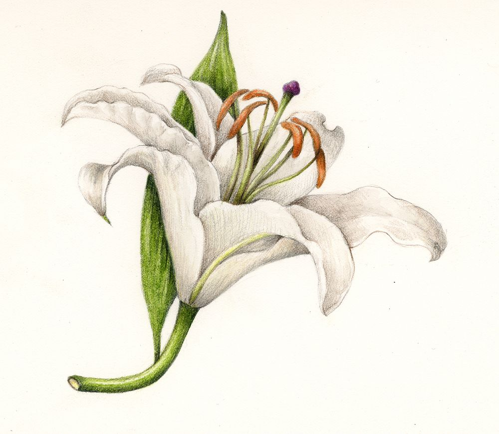 Lily. From the collection of botanical illustrations of