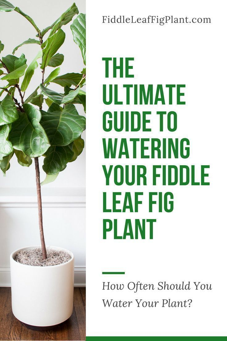 Click to view the ultimate guide to watering your fiddle - How often should you water your garden ...