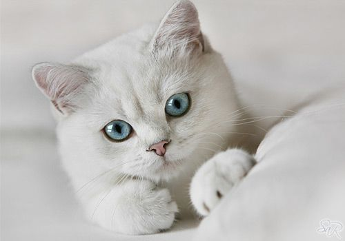 Pretty Young Things Sparklette Magazine Cute Cats And Kittens British Shorthair Kittens Cats