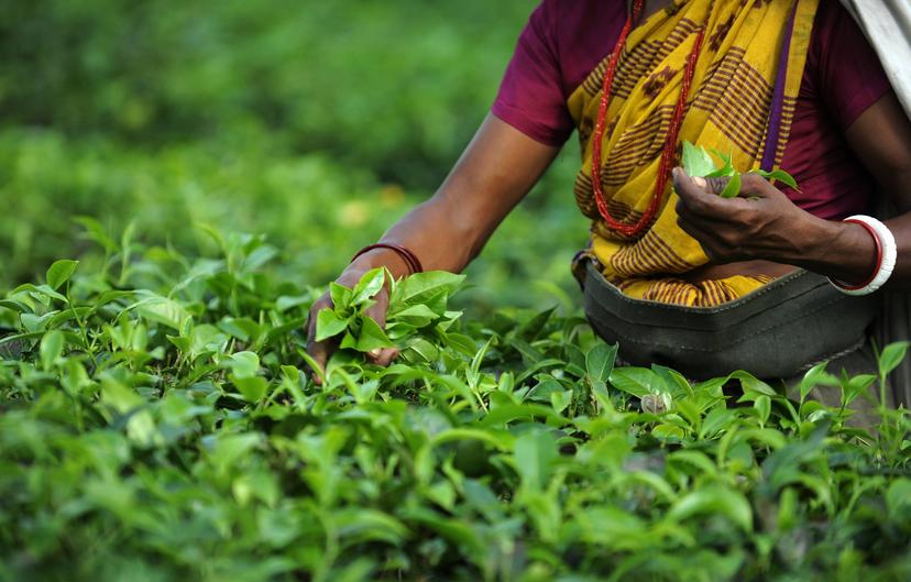 46d16aee866df3fe0a56a30ad15055ca - Use Of Tea Leaves In Gardening