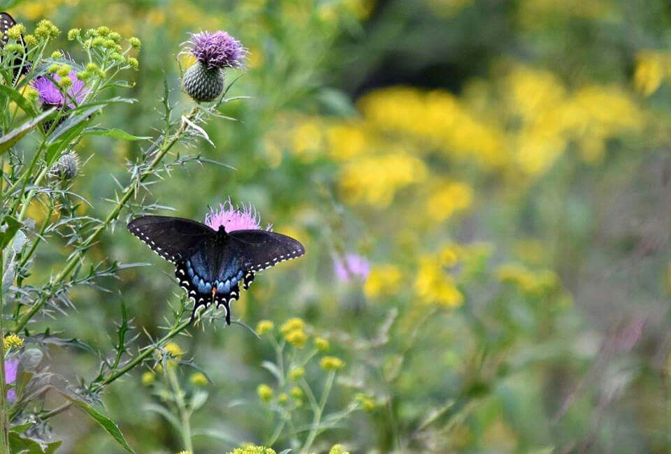 Butterfly. Cades cove, Plants, Cove