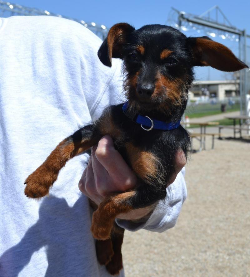 Adopt Addison On Dachshund Mix Adoptable Dachshund Dog Dachshund