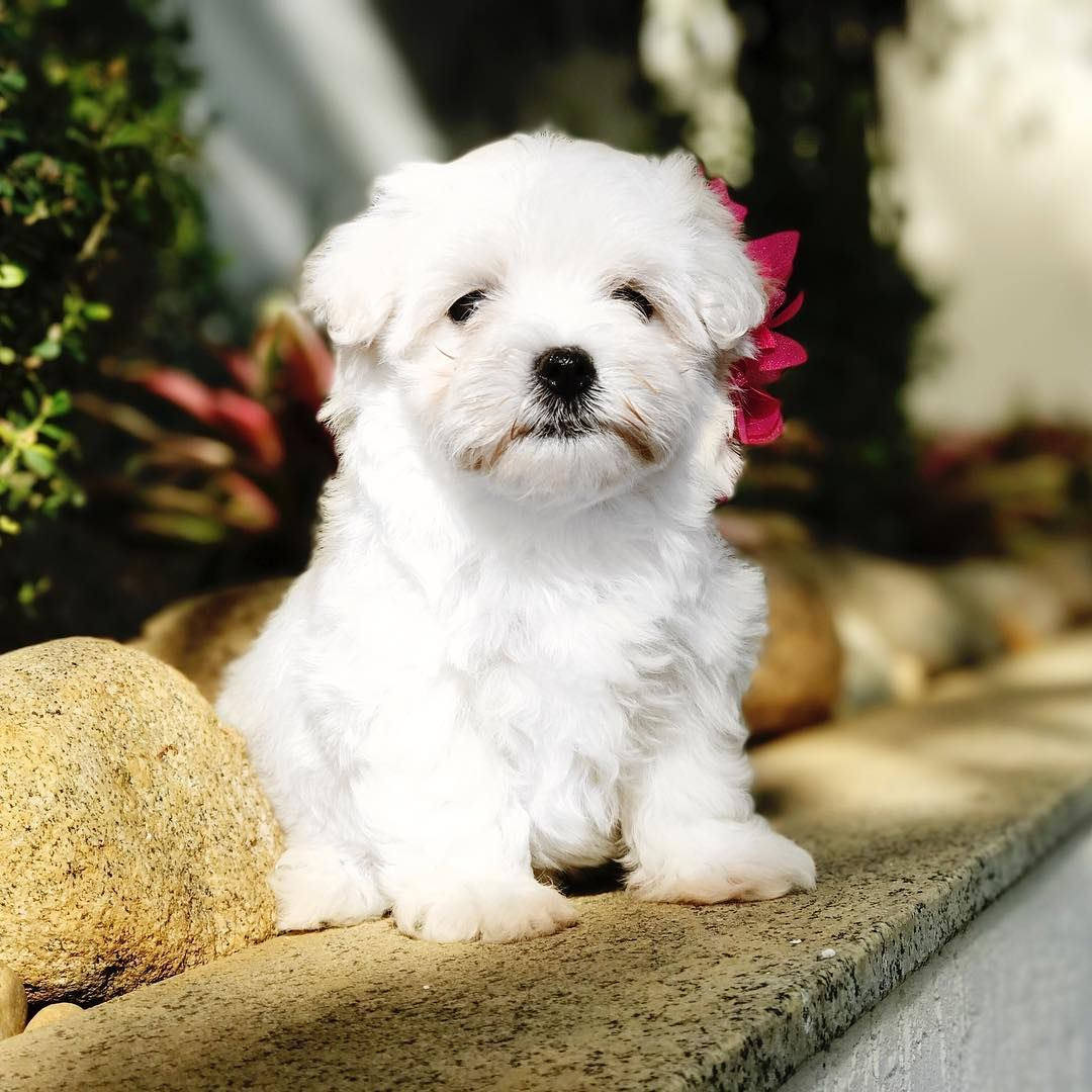 Maltese Female Available For Reservation More Info On Direct