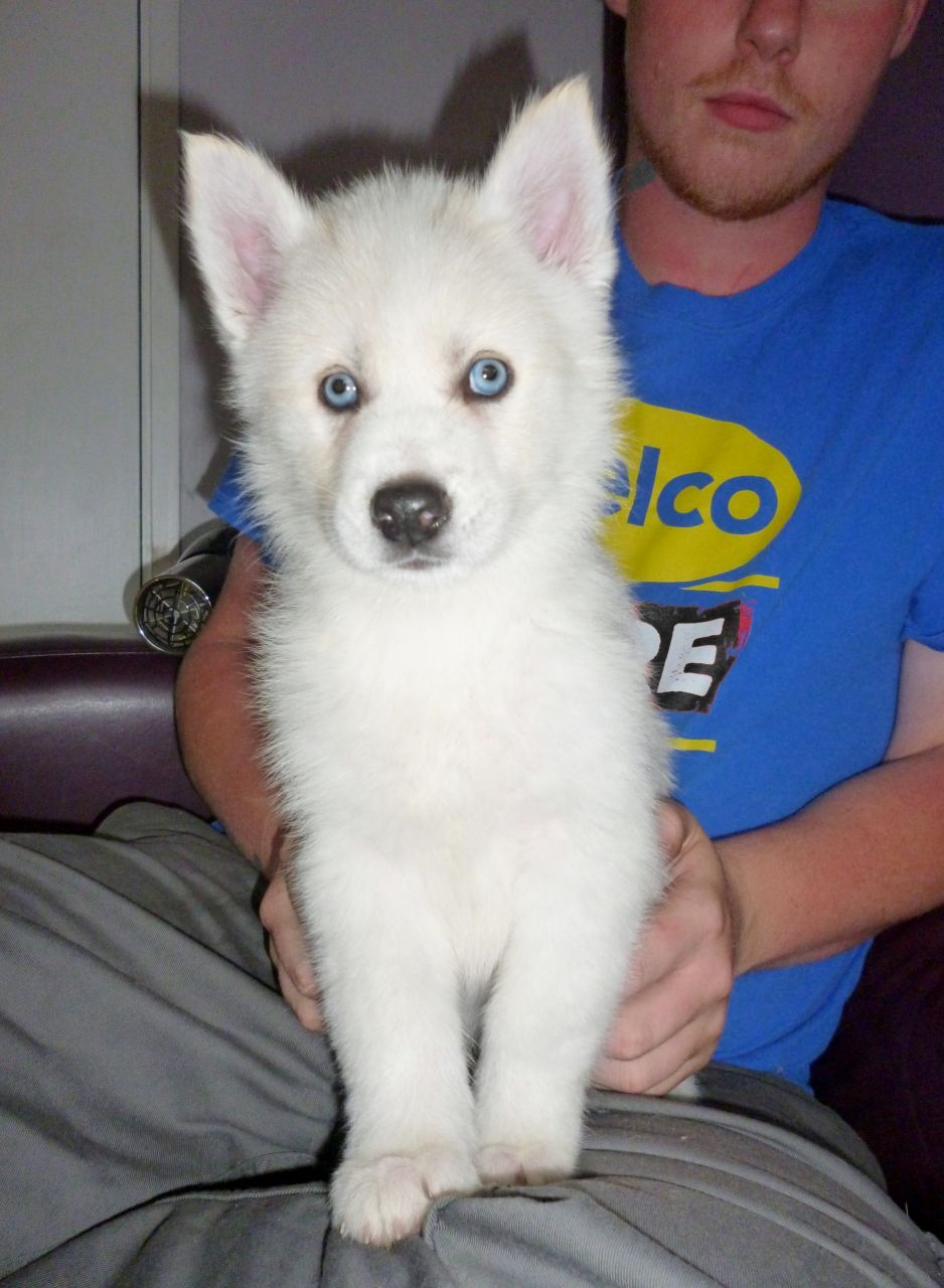Blue And Brown Eyed Snow White Husky Puppies 55f9869f7ef65 Jpg
