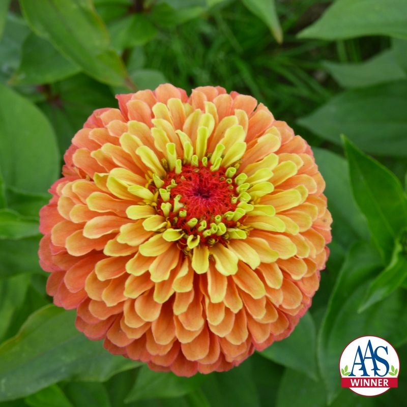 Zinnia Queeny Lime Orange 2018 Aas Flower Winner Bees Butterflies Flowergarden Cutflowers Zinnia Elegans Zinnia Flowers Zinnias