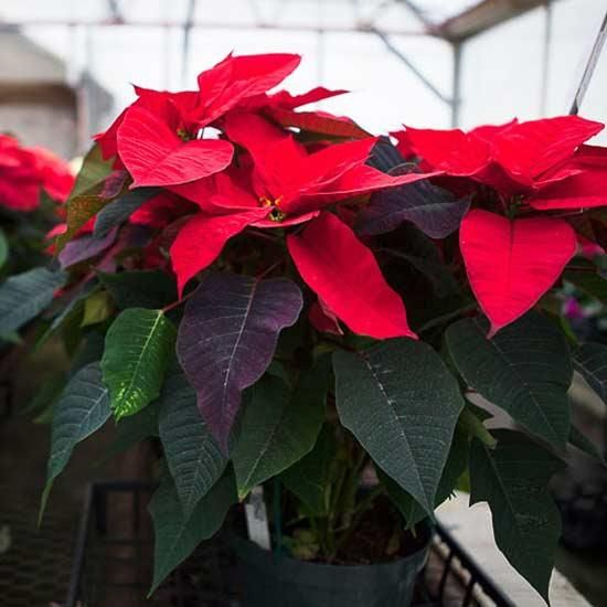 Poinsettia House Plant: Here's How To Have The Most Beautiful Poinsettias