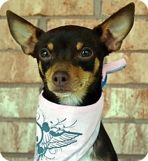 Pin By Jo Wiest On Rescue Dogs Pets Pet Adoption Chihuahua