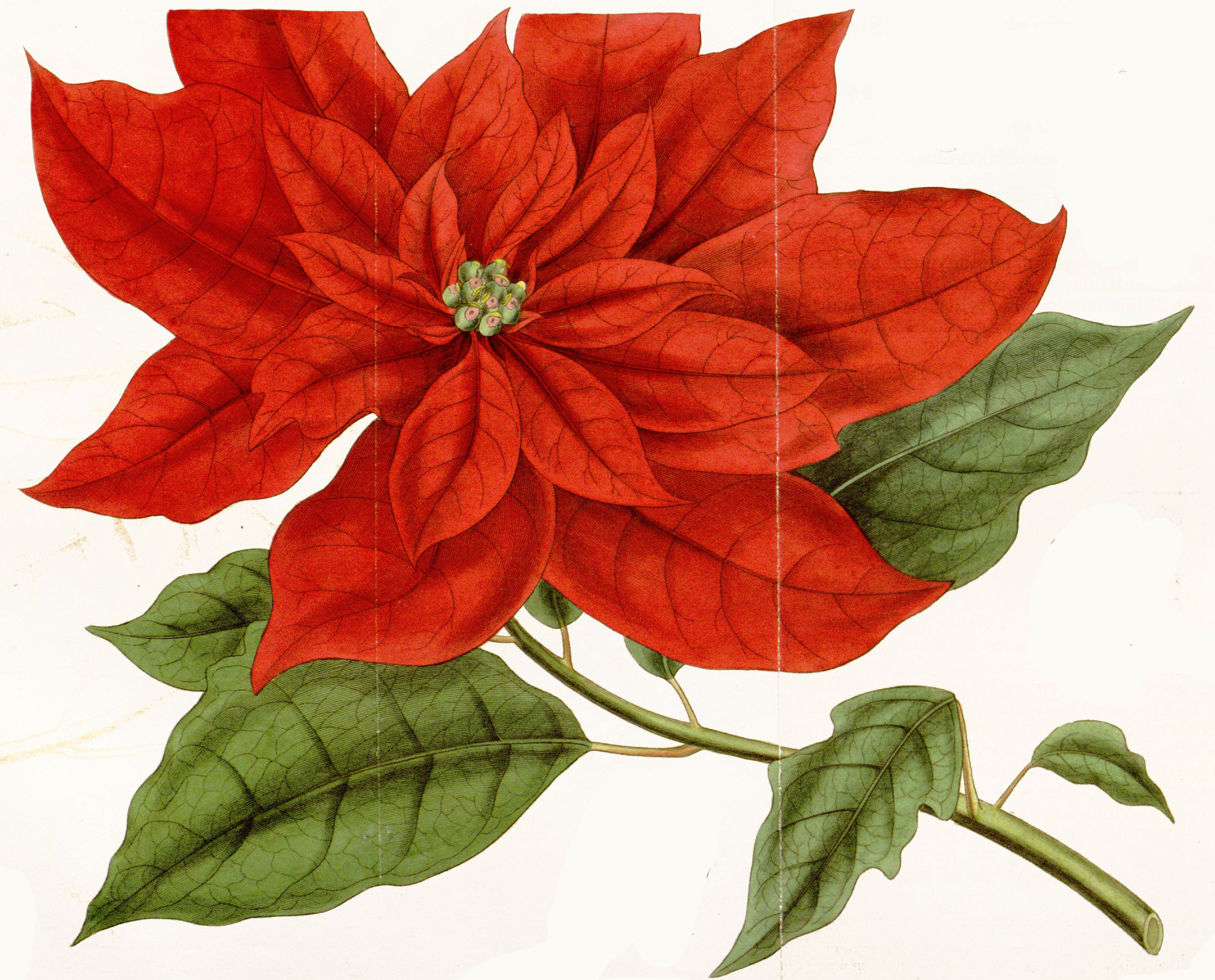 vintage poinsettia drawing Google Search Botanical