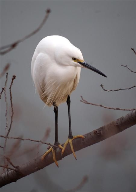 White egret - seems like Japanese painting