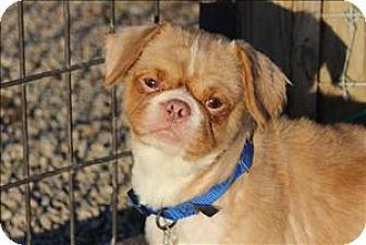 Quakertown Pa Pekingese Pug Mix Meet Donald A Dog For