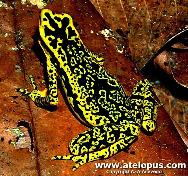 Atelopus Cruciger - native to Venezuela