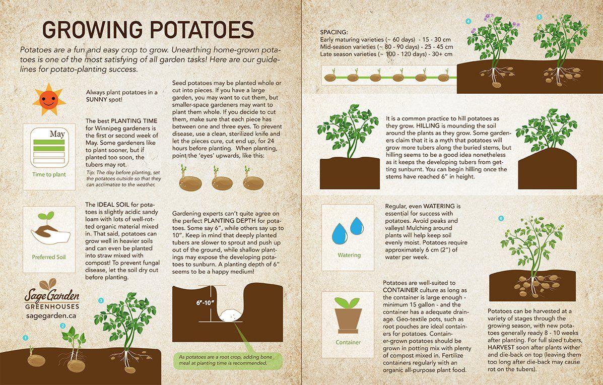 How To Plant Potatoes Sage Garden Planting Potatoes Organic