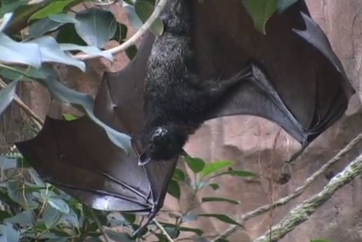 MEGABAT Flying Fox - Species Spotlight