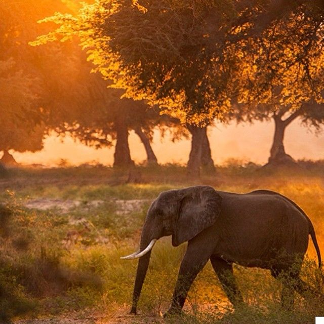 "►benmcraephotography: ""On an afternoon game drive in Mana Pools NP you are guaranteed to get some great light it's just finding something that will help you make the most of it."