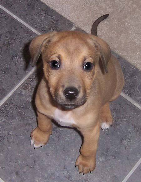 Pit Rott Puppies Goldenacresdogscom