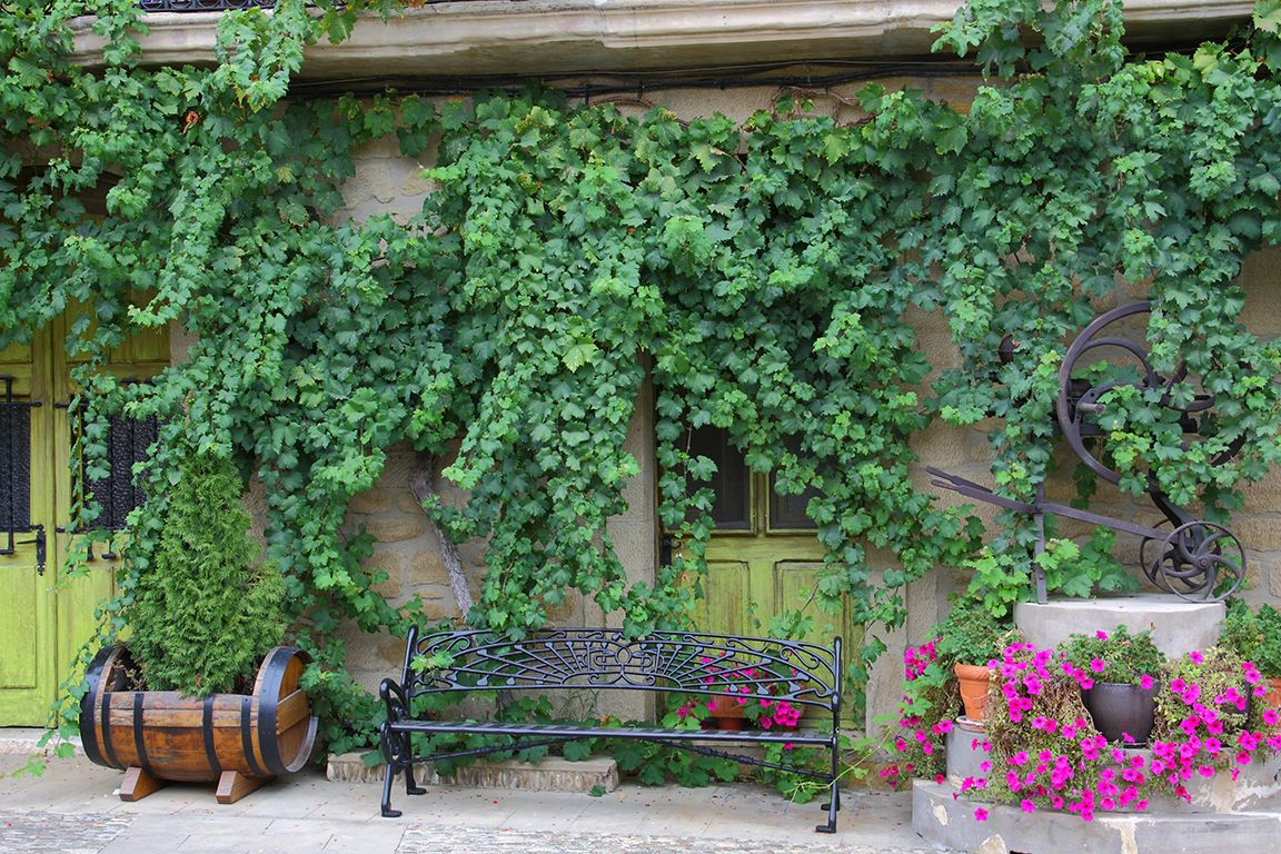 fast growing vines for urban garden privacy