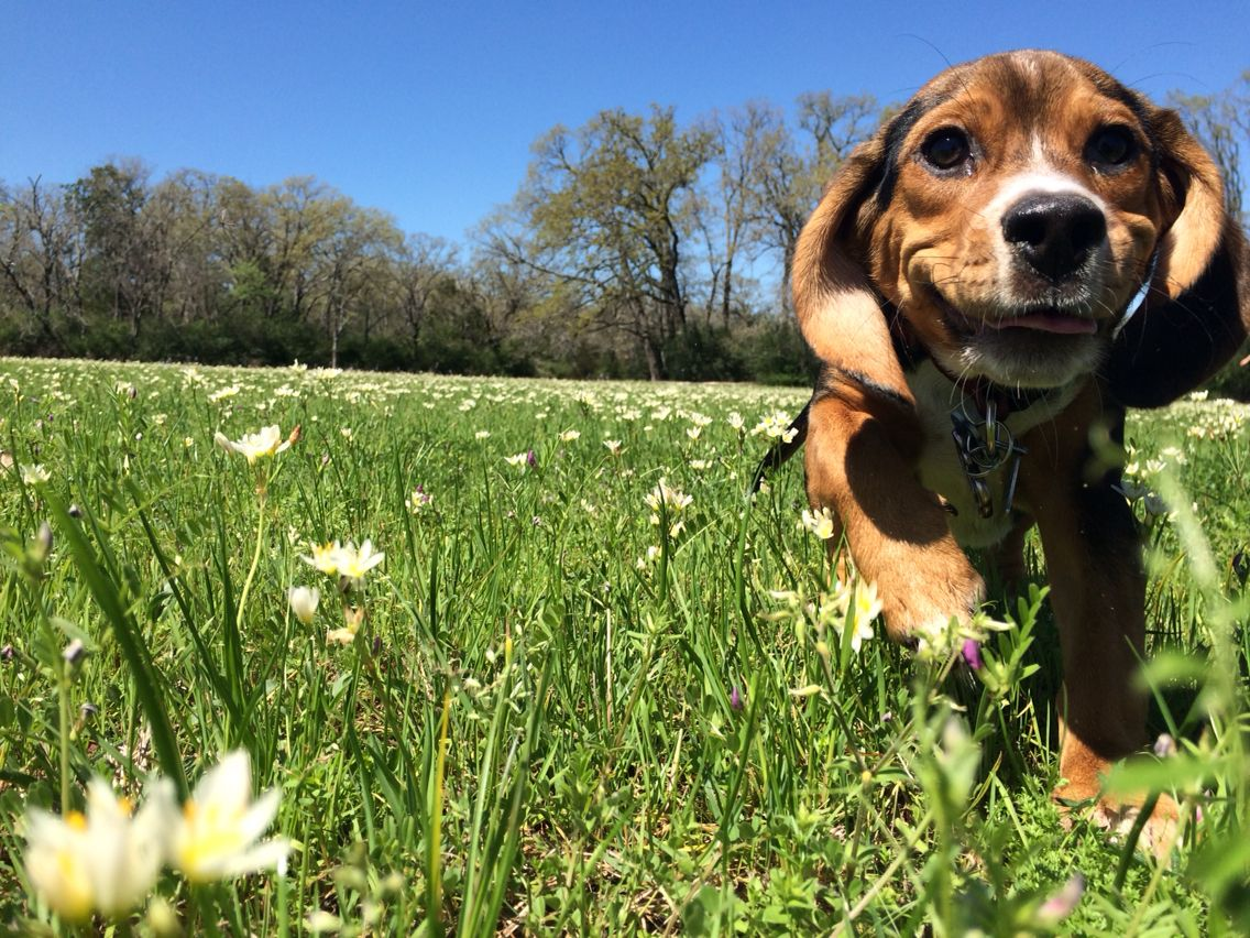 Beagle Silly Face