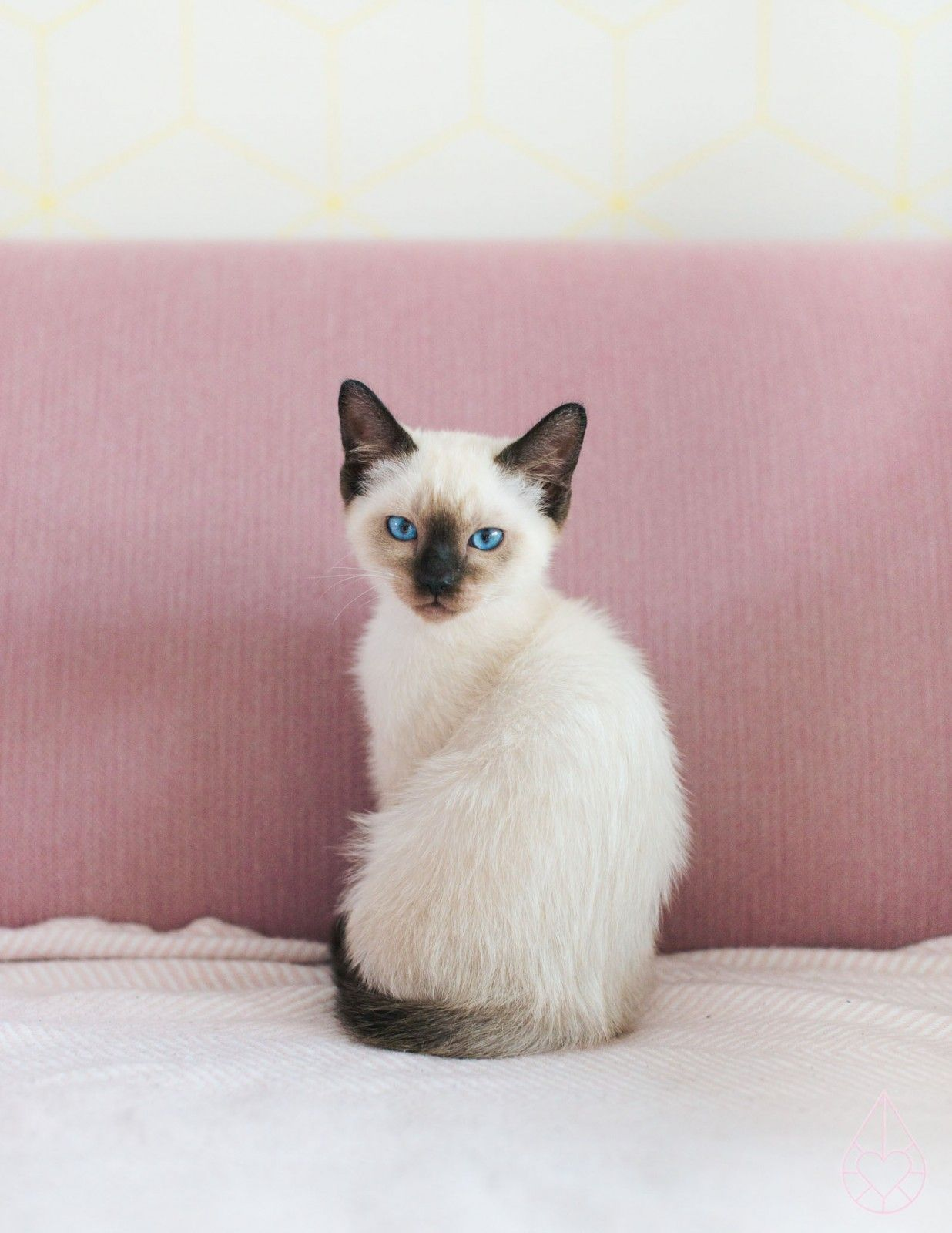 Siamees ragdoll Pjoes, by zilverblauw.nl | Kittens | Pinterest ...
