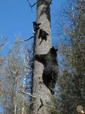 Jewel teaching her cubs, Fern and Herbie how to climb a white pine.