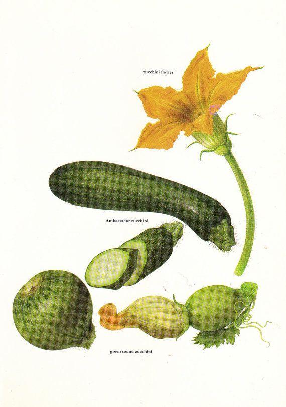 zucchini #illustration Vintage 1960s zucchini Illustration Book Page ...