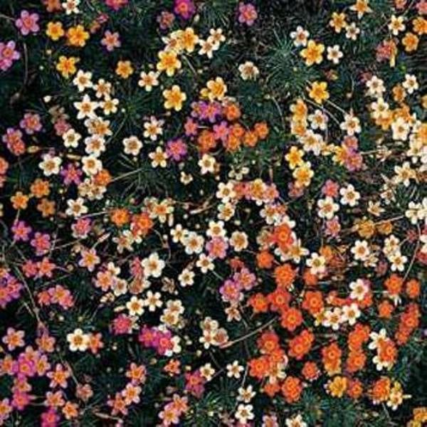 Leptosiphon Seeds - French Hybrids Mix, Bright shades of rose, yellow, orange and cream,flower bed, containers, pathway,or ground cover.