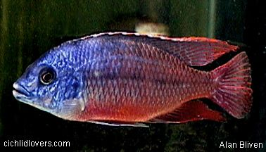 Protomelas Super Red Empress African Cichlids Cichlids Tropical Fish