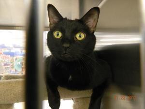 Titanic Bombay Siamese Mix Rescue Cat Cat Rescue I Love Cats Cats
