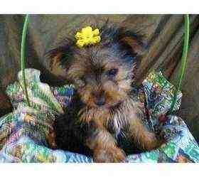 Super Tiny Teacup Yorkie Puppies For Adoption (MILWAUKEE, United States). Dogs  Puppies