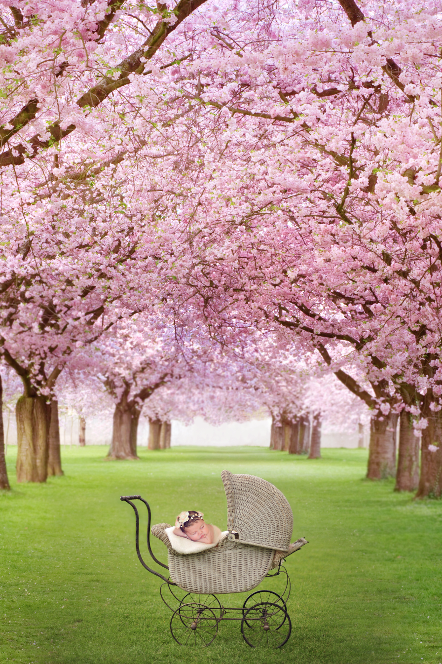 Cherry Blossom Newborn Digital Photography Backdrop Blossom Trees Cherry Blossom Tree Cherry Tree