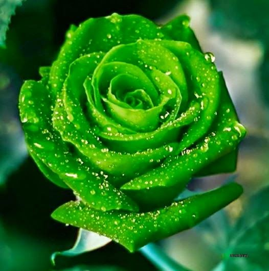 Giving The Colour Of Peace My National Flag Rare Green Rose Do You Love Unusual Roses