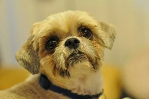 Amos is an adoptable Shih Tzu searching for a forever family near Tulsa, OK. Use…