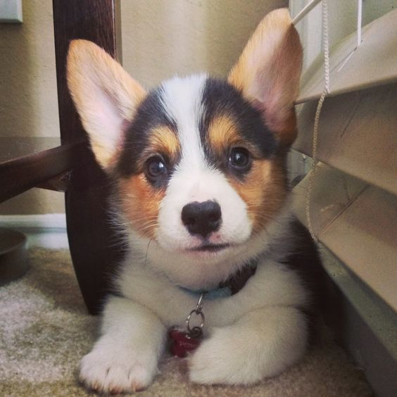 Corgi Puppy 3 I Awesomepawsomepuppies Cute Baby Animals Cute