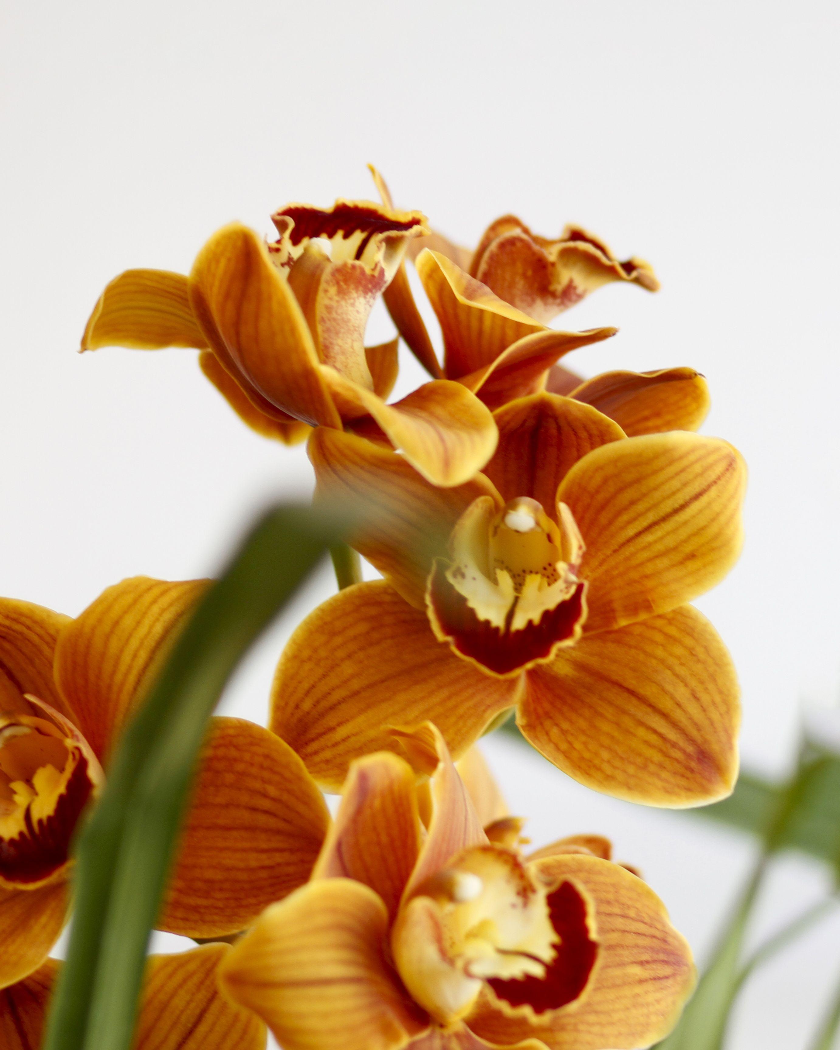 Fall Cymbidium Orchids Cymbidium Orchids Orchids Fast Flowers