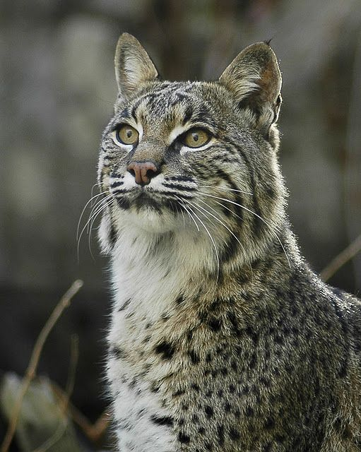 American Bobcat, he will be mine.  And his name shall be Bobert...or Boberta...the Bobcat