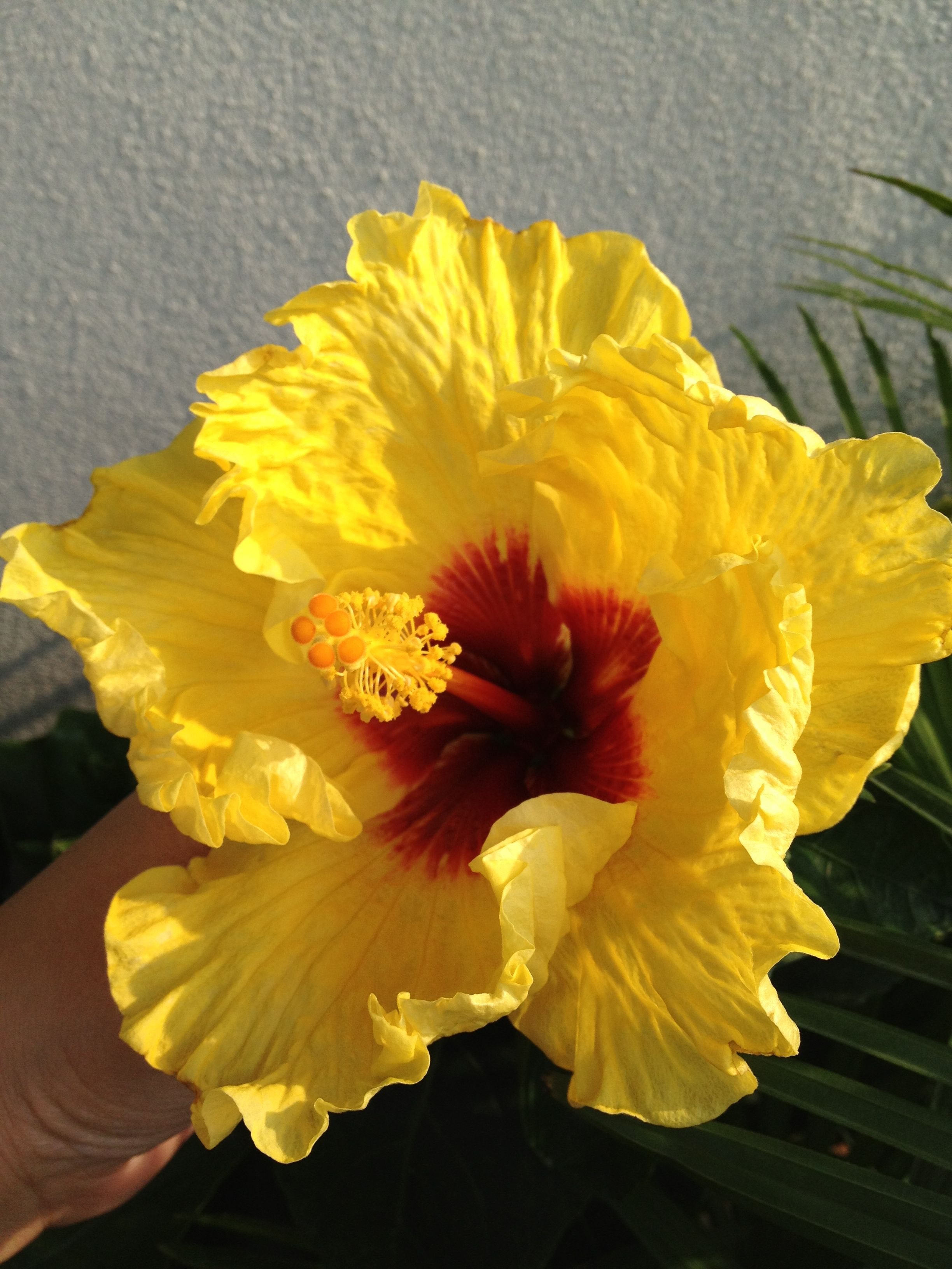 Yellow Hibiscus With Red Center Jardim