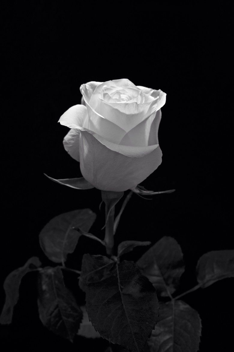 One And Only One Via 500px White Rose By Altug Karakoc Black And White Roses White Roses Black And White Flowers