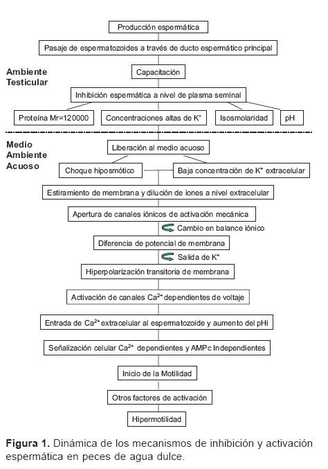 Revista Colombiana de Ciencias Pecuarias - Spermatozoa activation physiology in freshwater fish