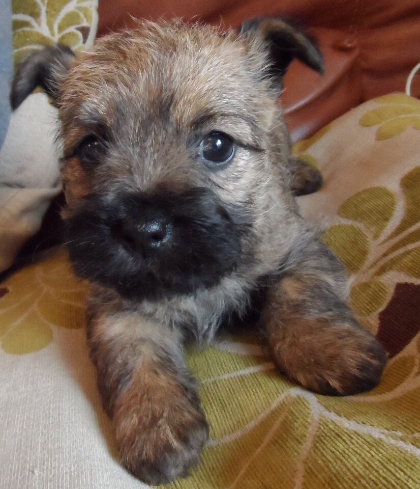 Cairn Terrier Puppies - Bing Images | Terriers! | Pinterest ... | Cairn Terrier Pups For Sale Parents