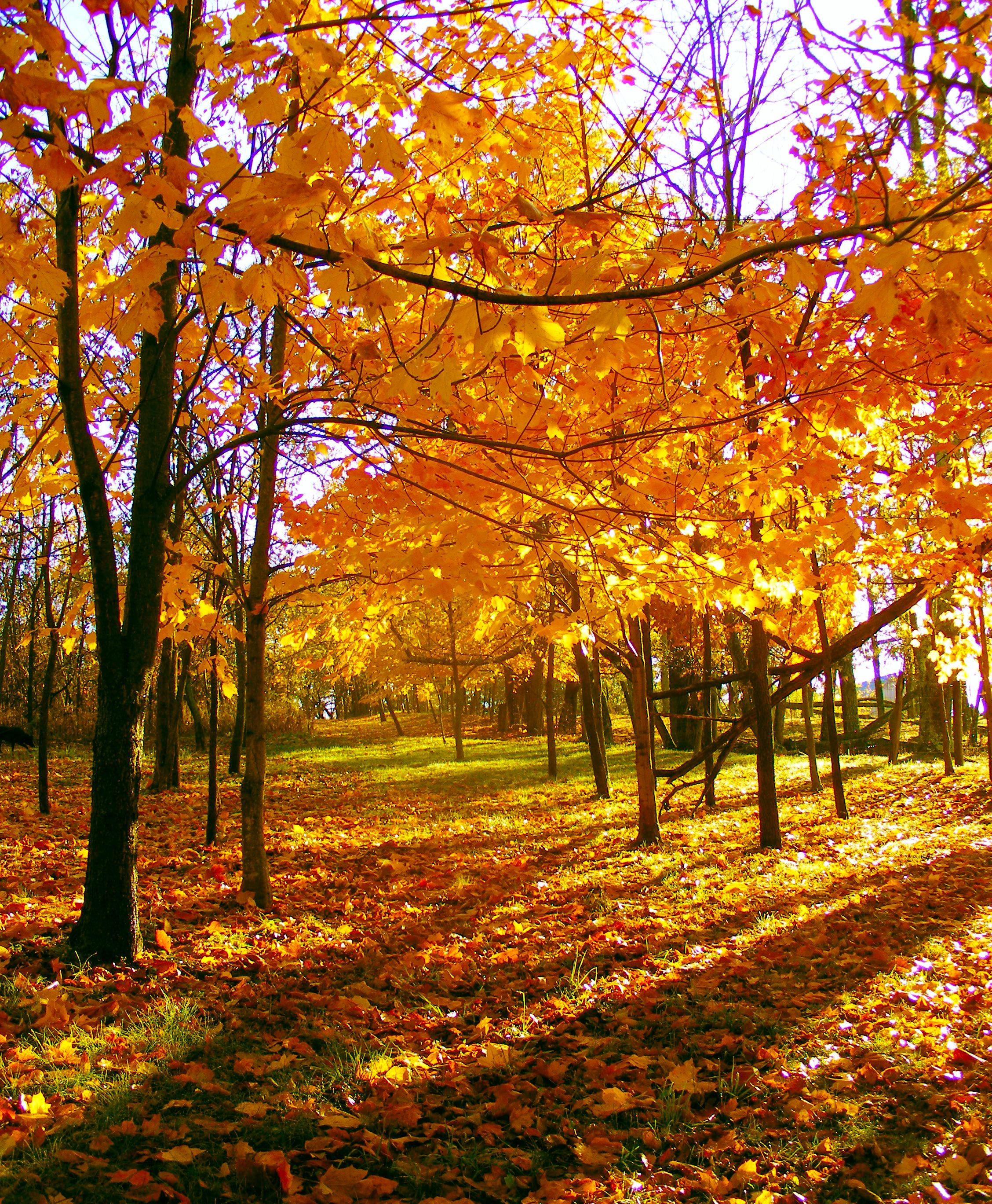 Fall Autumn Tree Leaves Nature