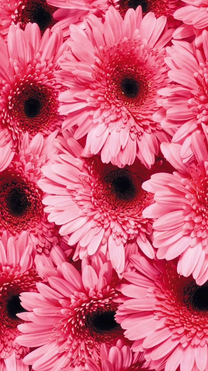 Download Gerbera Flowers Isolated On Black Background For Free Flower Background Iphone Flowers Black Background Flowers Dark Background