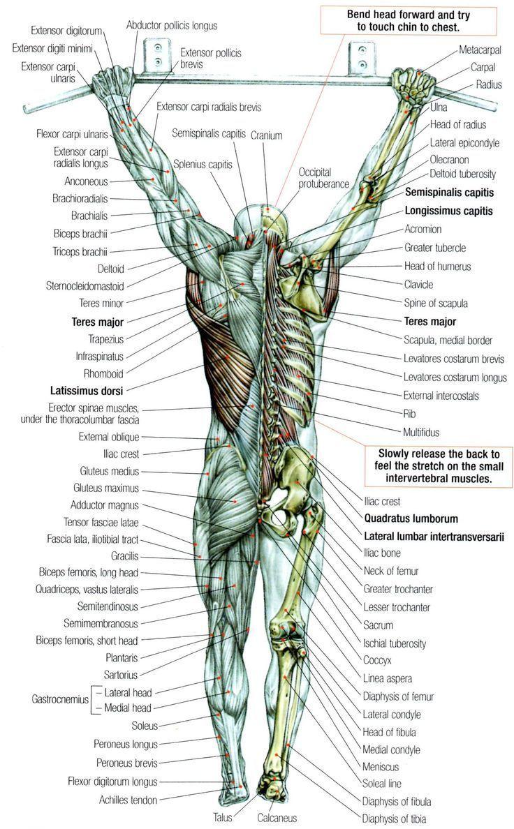 The Pullup Exercise Anatomy  Anatomie  Pinterest  Anatomy