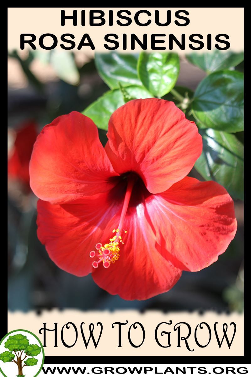 How To Grow Hibiscus Rosa Sinensis Hibiscus Rosa Sinensis Hibiscus Plant Growing Hibiscus