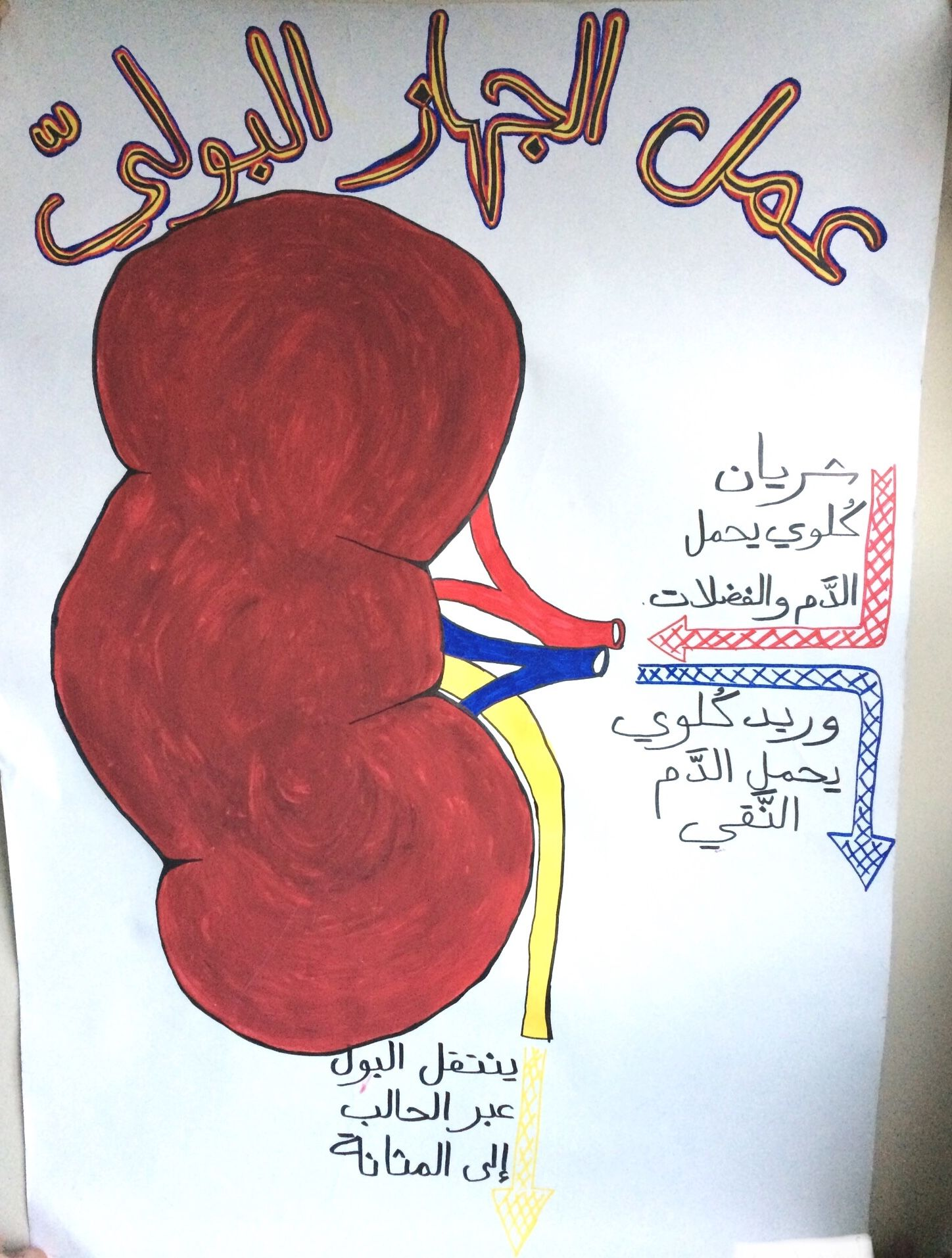Urinary System School Poster