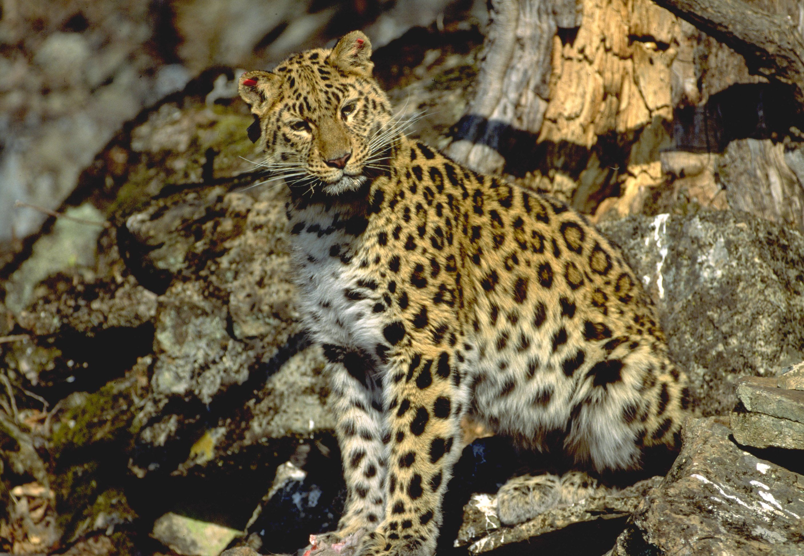 9 Different Types Of Leopards with Facts and Pictures