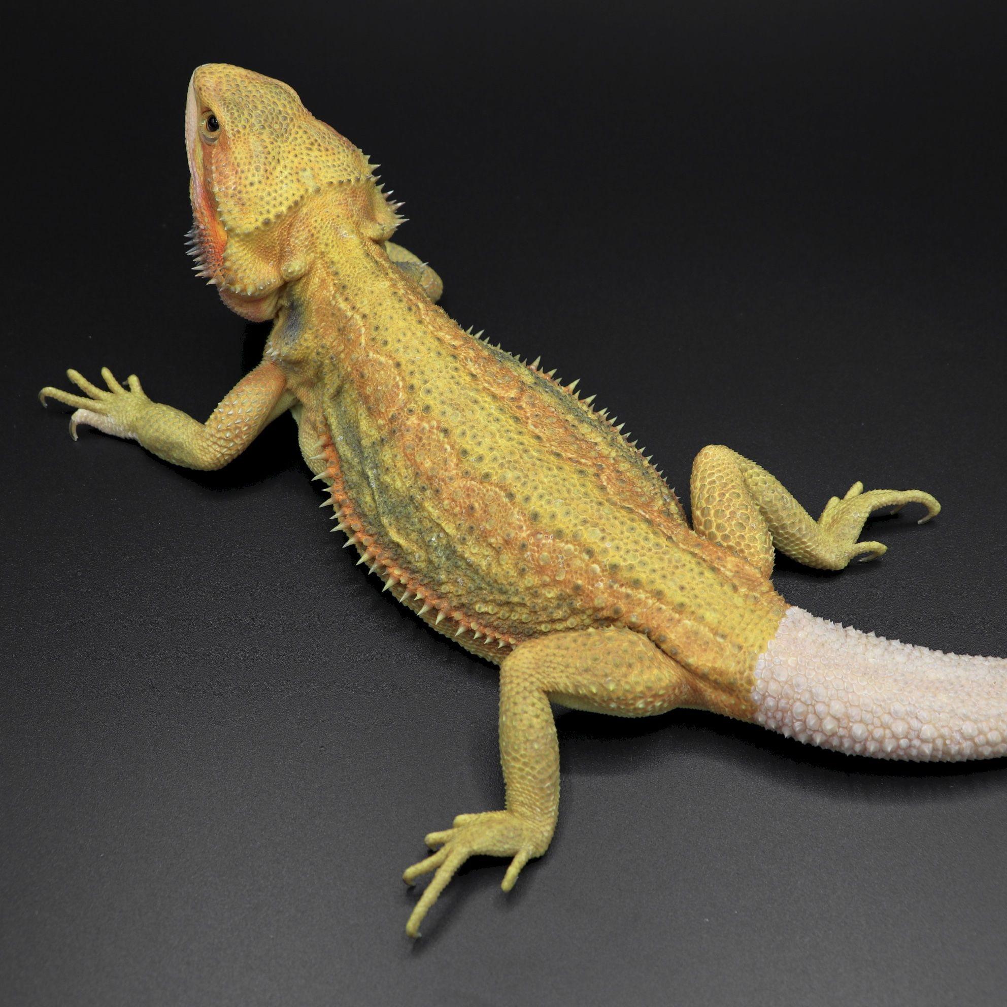 Stella- Hypo Trans Citrus Dunner Bearded Dragon