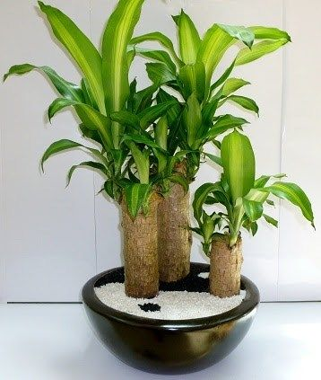 palo de agua o tronco de brasil | plantas y flores | pinterest