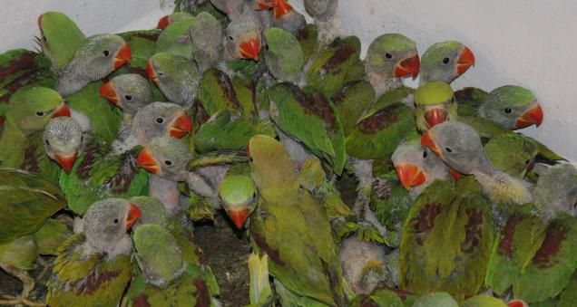 As Many As 214 New Born Alexandrine Parakeets Rescued From