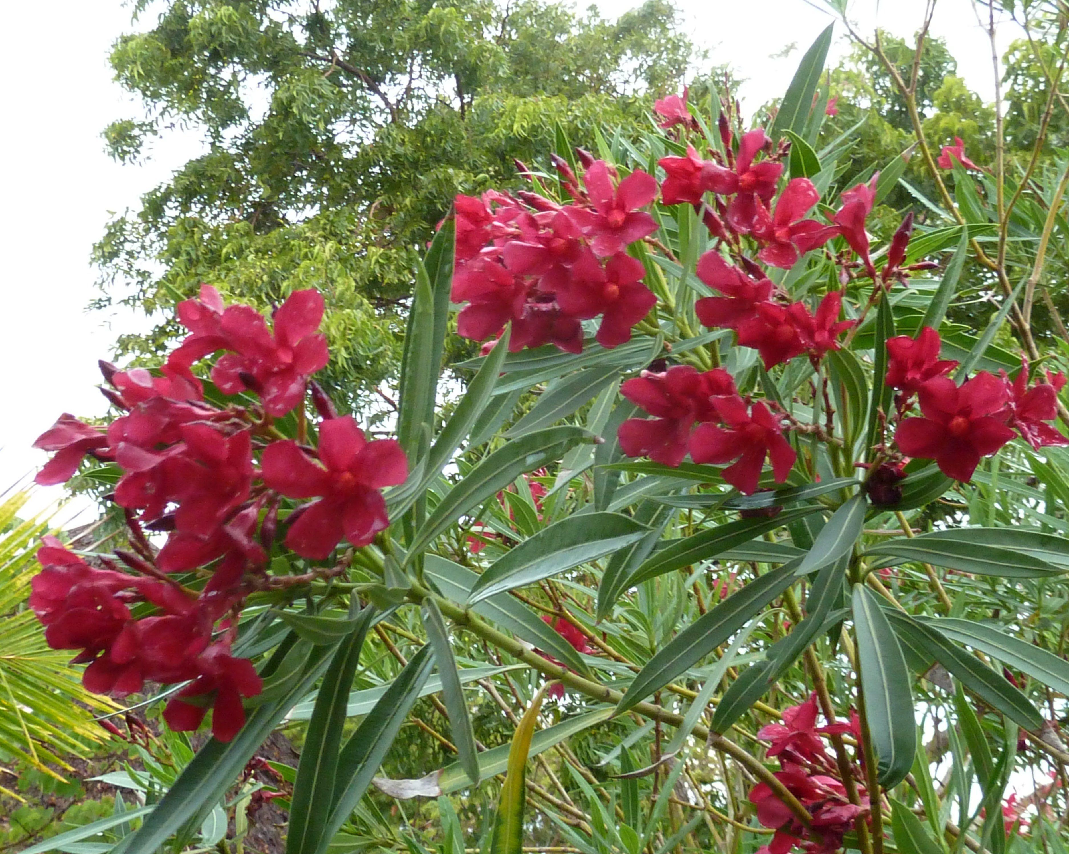 nerium oleander evergreen perennial plant evergreen. Black Bedroom Furniture Sets. Home Design Ideas